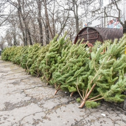 В Киеве запрещают елочные базары с 2020 года