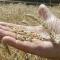 Нынешней осенью украинцев накормят хлебом из проросшего зерна?